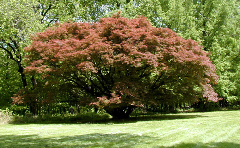 Japanese Maple Tree at Eliestoun, and More
